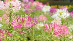 Spider flower or prickly spider-flower or pink queen in the wind Stock Footage