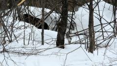 Beaver winter 4 Stock Footage