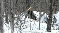 Beaver winter 7 Stock Footage