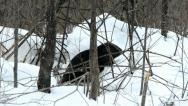 Stock Video Footage of beaver winter 5