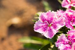 Dianthus chinensis (china pink) is a species of dianthus native Stock Photos