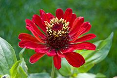 Red zinnia - stock photo