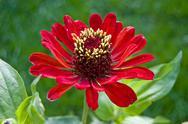 Stock Photo of Red zinnia