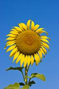 Sunflower on a background of blue sky. the bright colors of summer Stock Photos