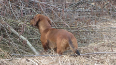Dachshund for a walk in the woods Stock Footage