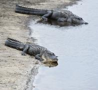 american alligators - stock photo