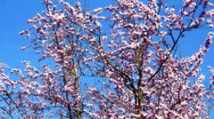 Pink blossom of a plum tree in spring Stock Footage