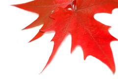 Red leaf Stock Photos