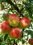 Stock Photo of Apples