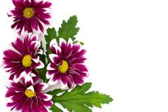 Stock Photo of Pink daisy frame