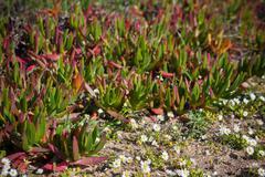 Succulent plants and daisies closeup at portugal ocean coast. horizontal shot Stock Photos