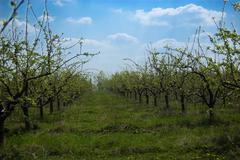 Stock Photo of Apple garden