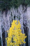 autumn in dixie national forest. white branches and tree trunks of aspen tree - stock photo