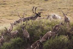 caribou migrate through the arctic national wildlife refuge, alaska, usa - stock photo