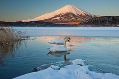 A pair of mute swans in lake kawaguchi disrupt the reflection of mt. fuji, ja Stock Photos