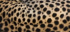 Close-up of cheetah spots on the animal's hide in serengeti national park, ta Stock Photos