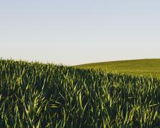 Lush, green rolling hills in a landscape. a crop of wheat growing and ripenin Stock Photos