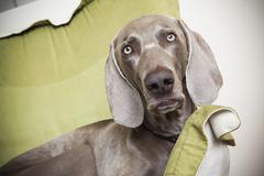 a weimaraner pedigree dog lounging on a chair. - stock photo