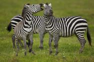 Stock Photo of plains zebras, ngorongoro conservation area, tanzania