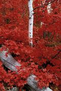 Rocky mountain maple trees and the white bark of aspens in the wasatch nation Stock Photos