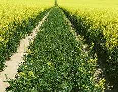 road through field of yellow flowering mustard seed plants growing in spring, - stock photo