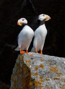 White-chested puffins, fratercula corniculata, horned puffins, lake clark nat Stock Photos