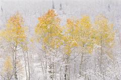 A forest of aspen trees in the wasatch mountains, with striking yellow and re Stock Photos