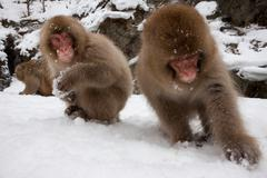 japanese macaques in the cold and snowo on honshu island. - stock photo