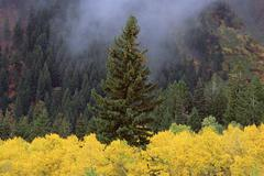 A forest of trees in the wasatch mountains, with striking yellow autumn folia Stock Photos