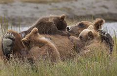 Brown bear cubs nursing, lake clark national park, alaska, usa Stock Photos