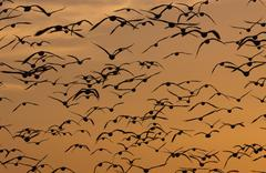 Snow geese, bosque del apache national wildlife refuge, new mexico, usa Stock Photos
