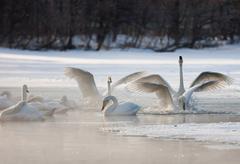 Cygnus cygnus, whooper swans, on a frozen lake in hokaido. Stock Photos