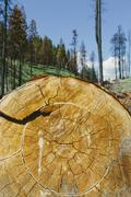 Cross section of cut ponderosa pine tree in recently burned forest (from the Stock Photos