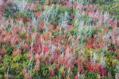 An elevated view over the treetops and the autumn foliage of aspen and maple, Stock Photos