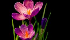Flowers, purple crocuses bloom. Spring awakening. Stock Footage