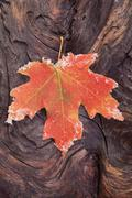 A frosted red brown maple leaf, autumn foliage with ice crystals around the e Stock Photos