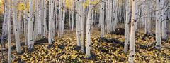 the dixie national forest with aspen trees in autumn. white bark and yellow f - stock photo