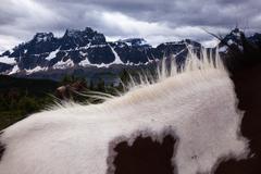 horses, jasper national park, alberta, canada - stock photo