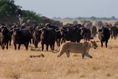 African lion and buffalo, botswana Kuvituskuvat