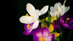Flowers bouquet , purple, white Yellow crocuses bloom. - stock footage
