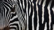 Stock Photo of zebra, equus quagga burchellii, ngorongoro conservation area, tanzania, afric