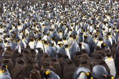 King penguins, aptenodytes patagonicus, in a  bird colony on south georgia is Stock Photos