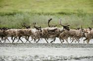 Stock Photo of caribou, arctic national wildlife refuge, alaska, usa