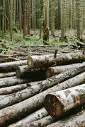recently cut logs of sitka spruce and western hemlock in lush temperate rainf - stock photo