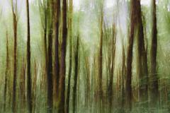 Lush forest of moss covered big leaf maple trees (acer macrophyllum), blurred Stock Photos