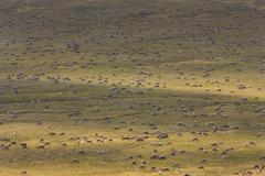 Porcupine caribou animals, a herd of animals migrating across the arctic plai Stock Photos