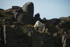 Jääkarhu, svalbard, norja, ursus maritimus Kuvituskuvat
