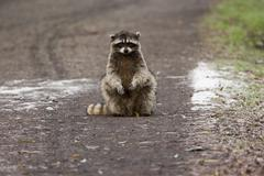 Stock Photo of a small raccoon sitting in the road in san juan island, washington