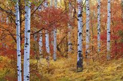 Forest of the rocky mountain maple and quaking aspen tree in the wasatch moun Stock Photos
