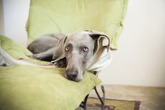 A weimaraner pedigree dog lounging on a chair. Stock Photos